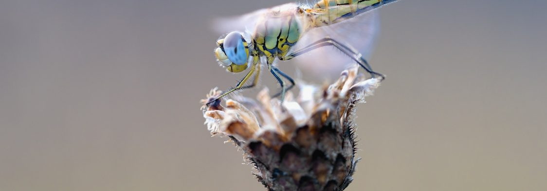 early-heath-dragonfly-2186186_1920